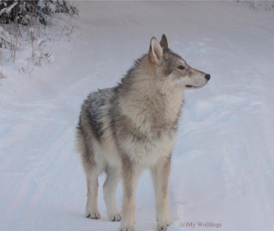 Juhlapukuisen koiraan höyhenys valkoinen, mutta päälaki, siipisulat, vatsa ja perä mustat.